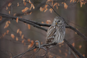 fot.Marcin Lenart, źródło www.birdwatching.pl